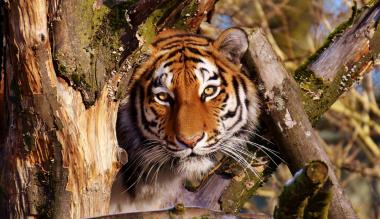 szembenezes-a-tigrissel